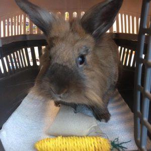 En brun kanin ser ud af sin transportkasse med en legetøjsgulerod foran sig.