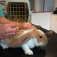 En rød/hvis kanin sidder roligt på bordet hos dyrlægen, der er ved at vaccinere kaninen.