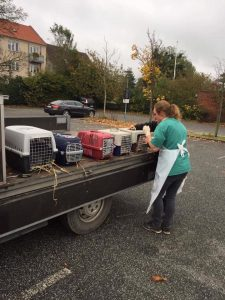 Dyrlægen vaccinerer 5 kaniner fra samme besætning. Deet foregår i deres transportkasser, der er placeret på ladet af en bil ude på parkeringspladsen.