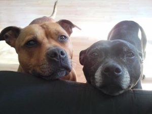 To gamle gråskæggede hunde kigger op over en sofa.
